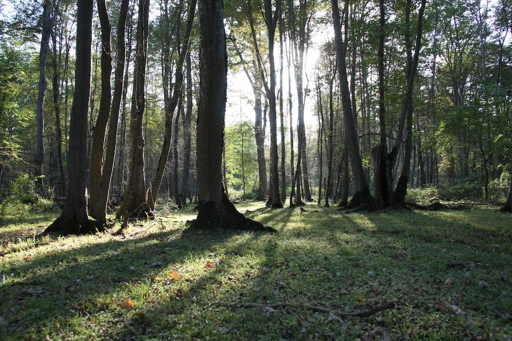 sunlight passing through trees during daytime