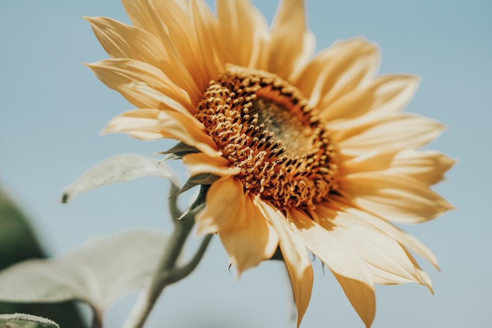 yellow sunflower closeup photography