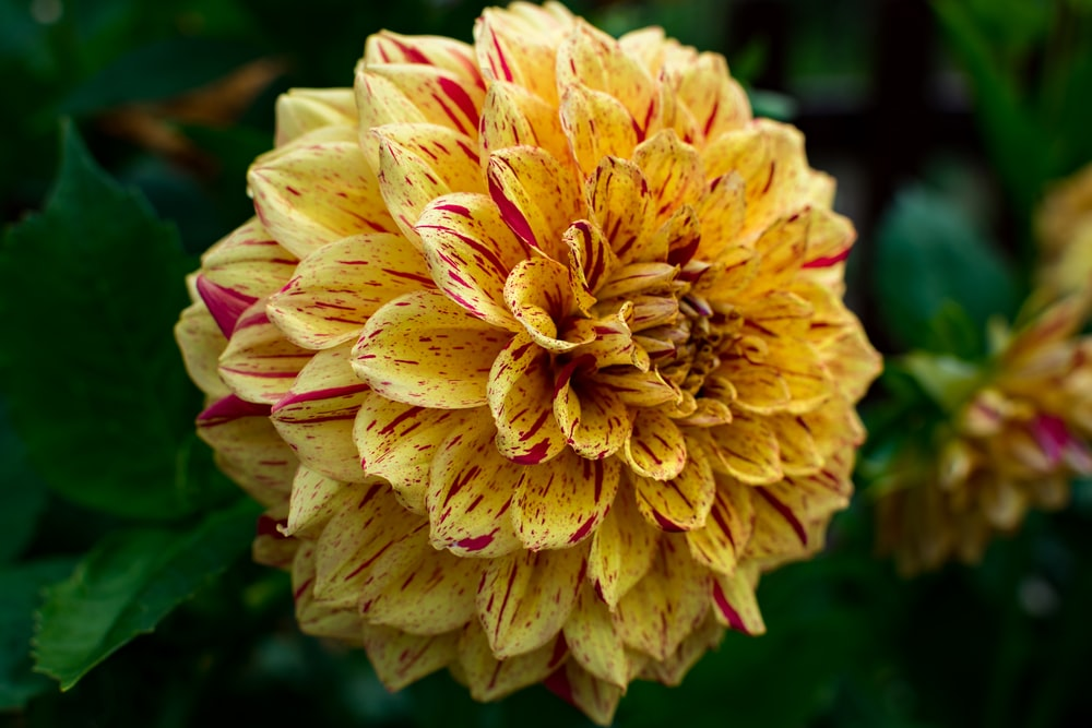 pink and yellow petaled flower