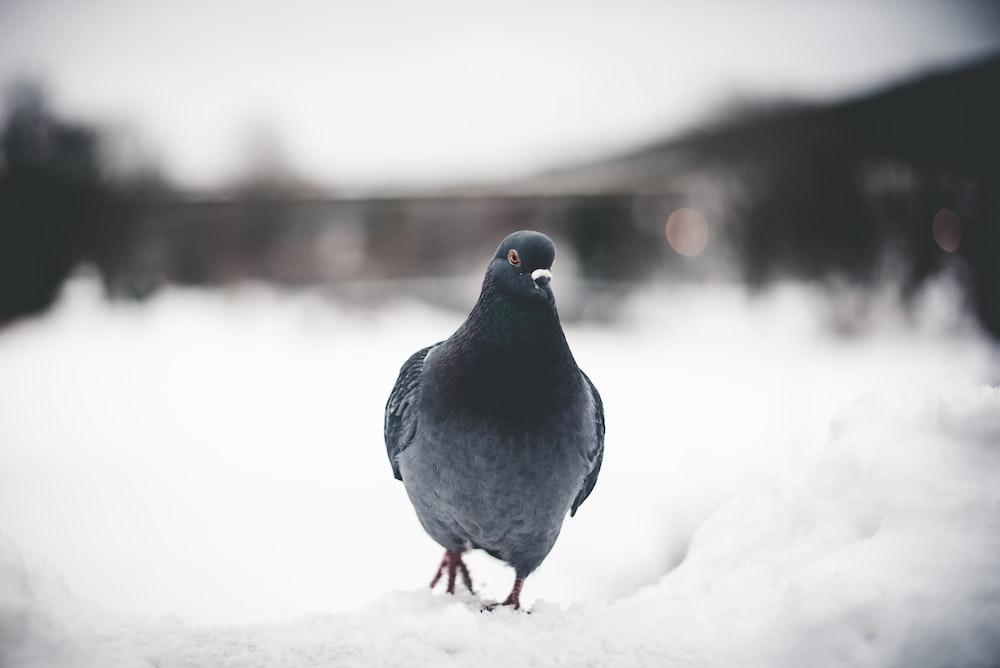black pigeon on snow field
