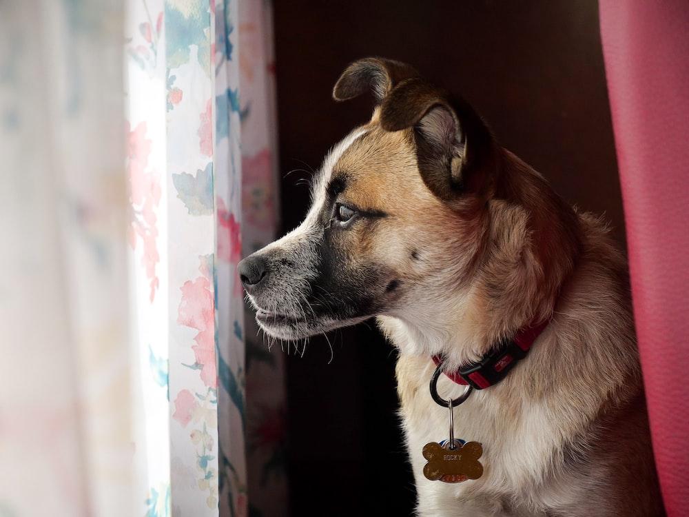 short-coated tan dog near window