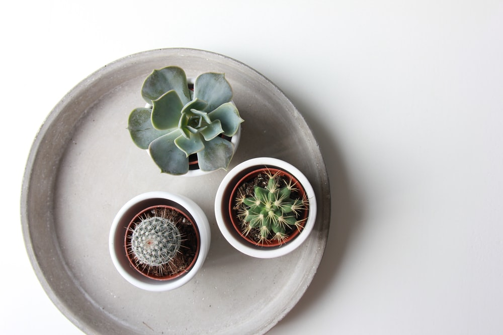 green succulent plant and two cacti