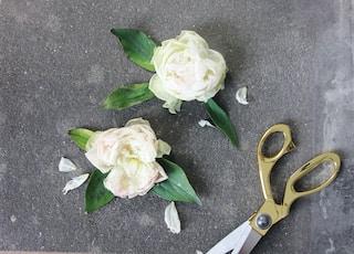 two white roses beside scissors