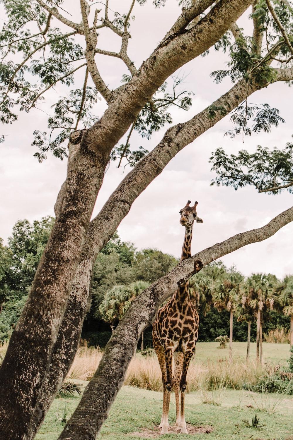 giraffe standing beside tree