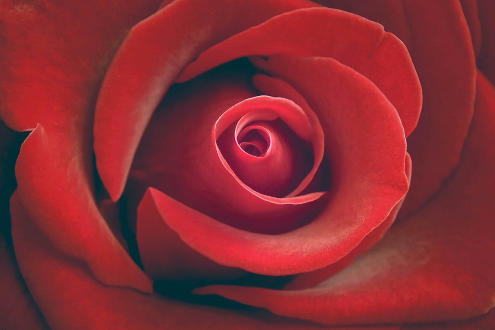 100 Rose Flower Pictures Download Free Images On Unsplash