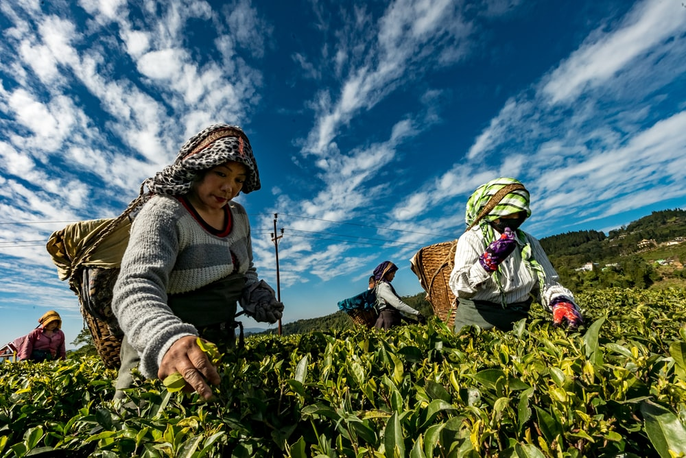 people on plant fields harvesting during daytime
