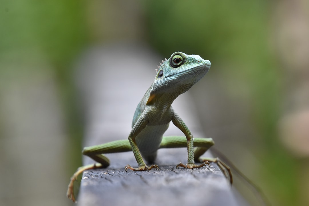 Green crested lizard in Singapore
