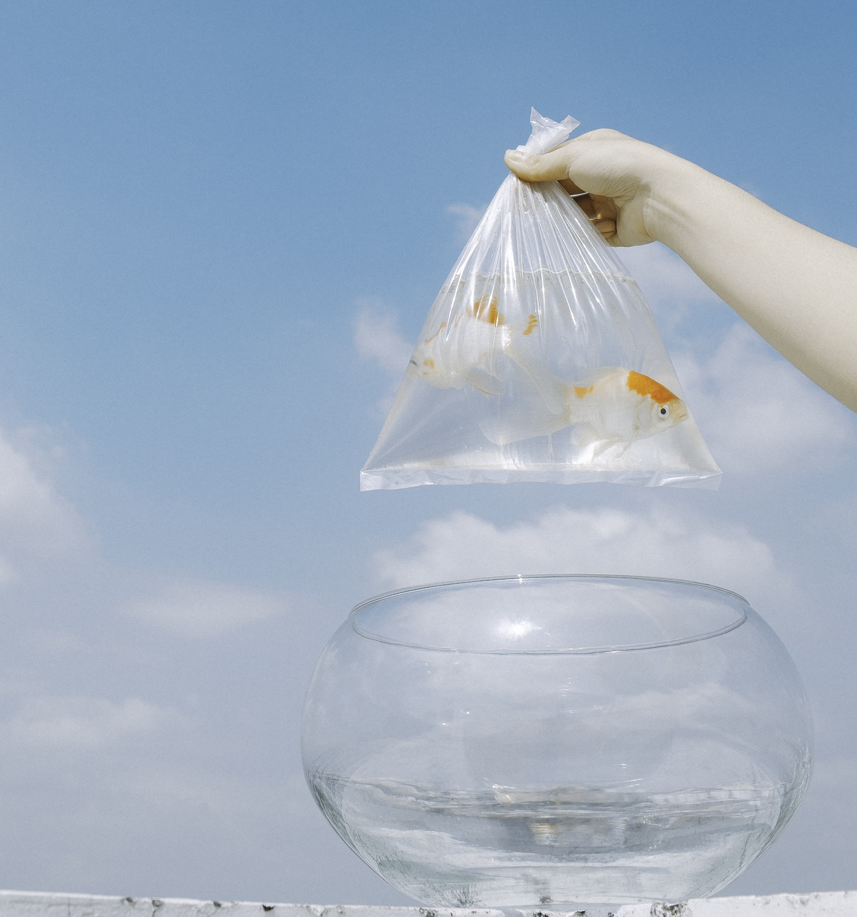 clear plastic bag of two goldfish