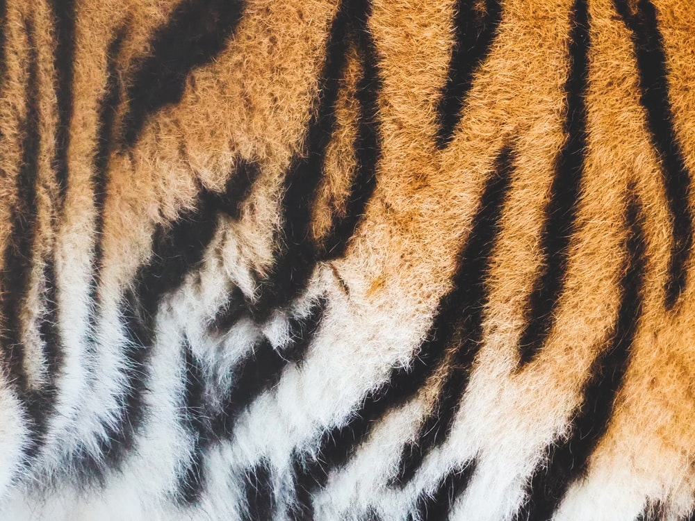 close view of tiger skin