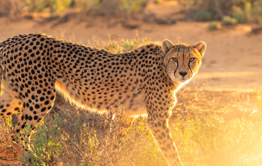 A Cheetah at the Inverdoorn Game Reserve in South Africa being rehabiliated and prepared to be allowed to roam free in a national park.