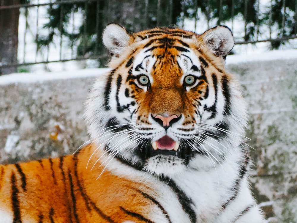 close-up photography of tiger