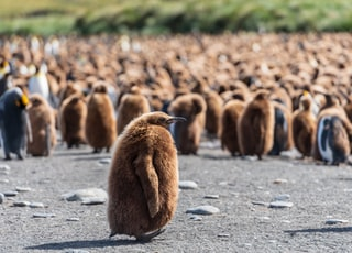 selective focus photography of king penguin