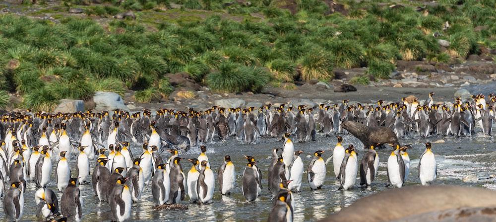 flock of white-and-black penguins on seashore