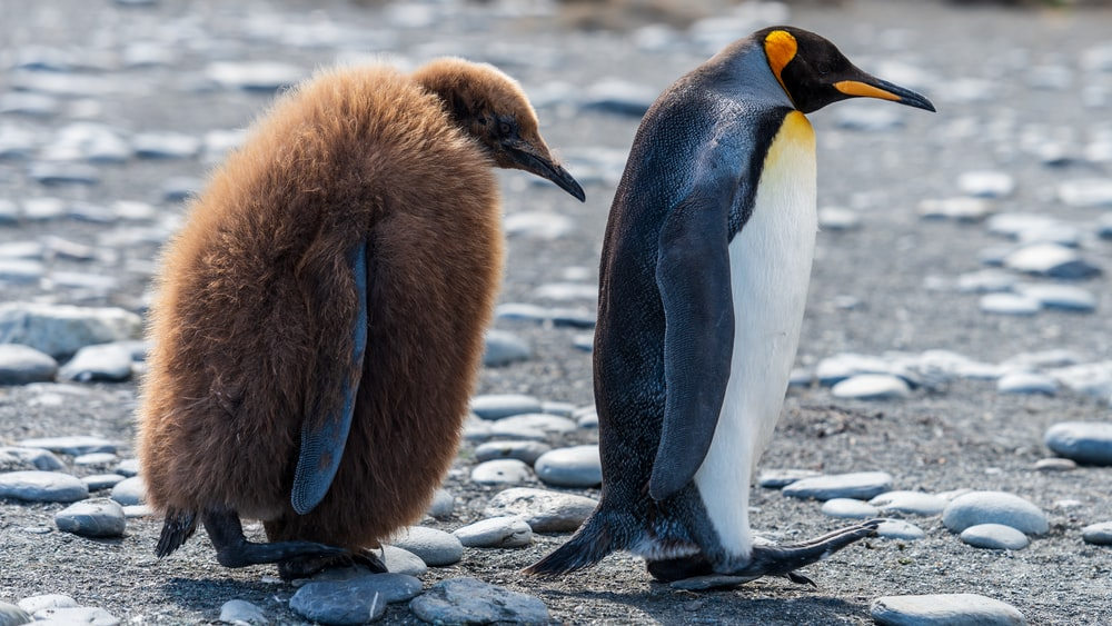 two brown and white penguins walking on stone covered field