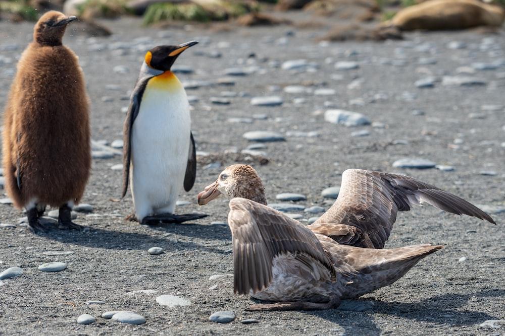 king penguin and white penguin standing near gray bird