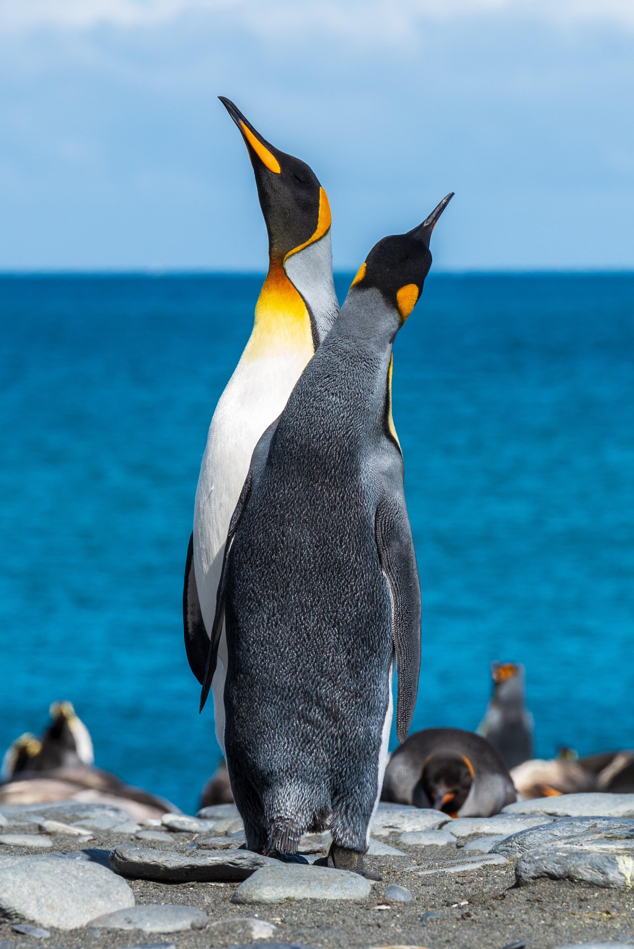 two penguins on seashore during daytime