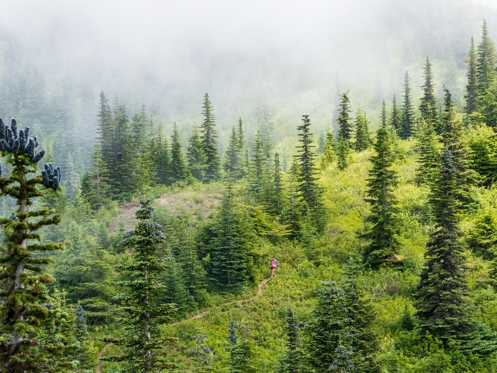 aerial view photography of person walking between pine trees