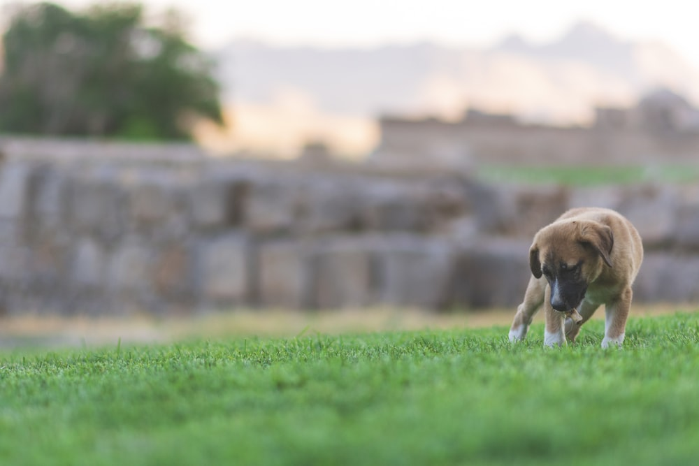 brown short coated puppy on green field during daytime