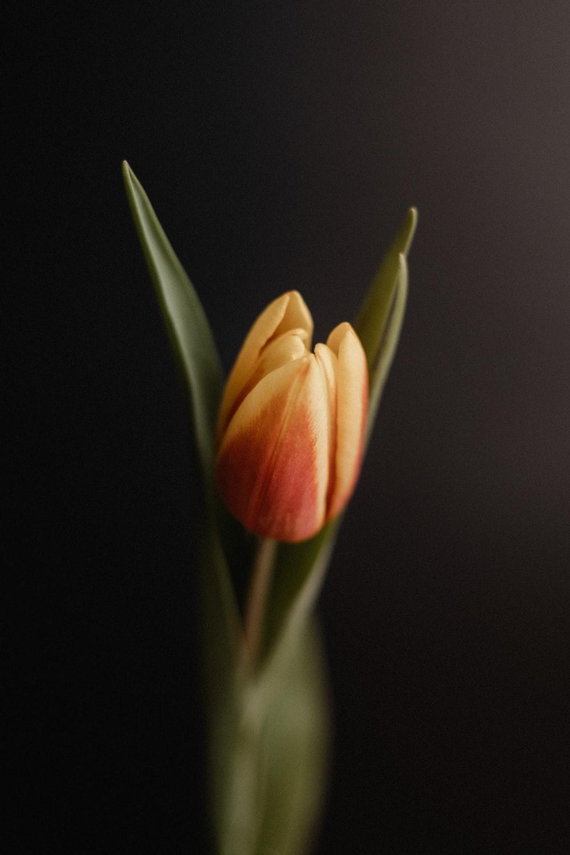 yellow and orange tulip flower photo