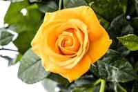 Lemon Yellow Roses stem stories