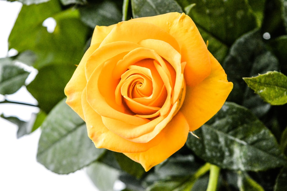 350 Yellow Rose Pictures Hd Download Free Images On