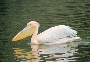 Read more about the article Pelican That Tried to Hatch Chick of its Own for Years Gets A Little Help