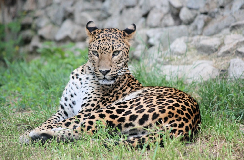 shallow focus photo of white and black leopard