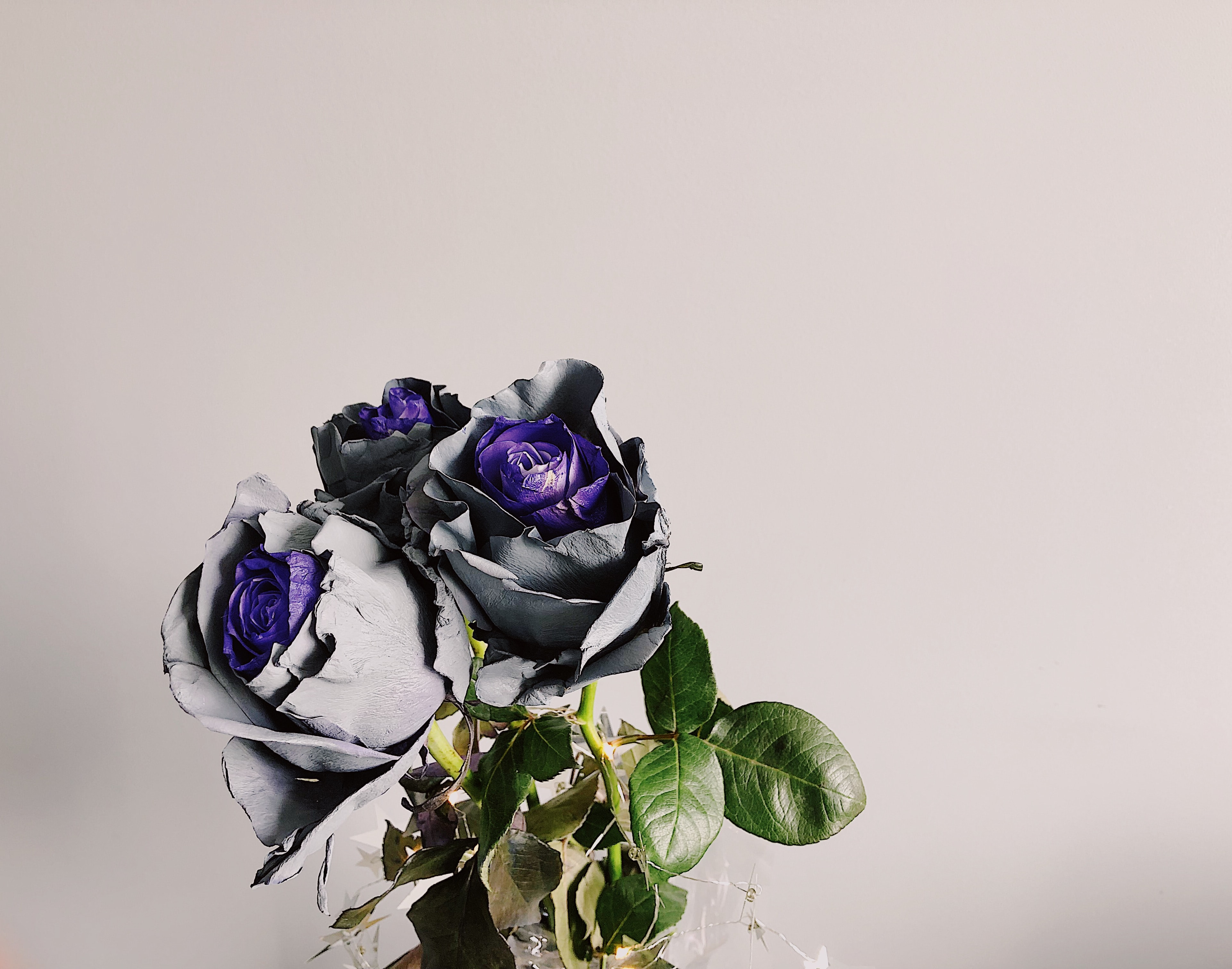 purple-and-gray rose flowers with green leaves