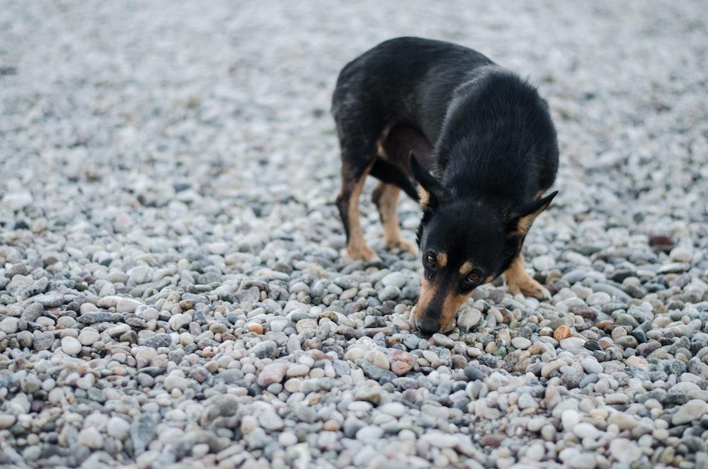 short-coated black and tan dog