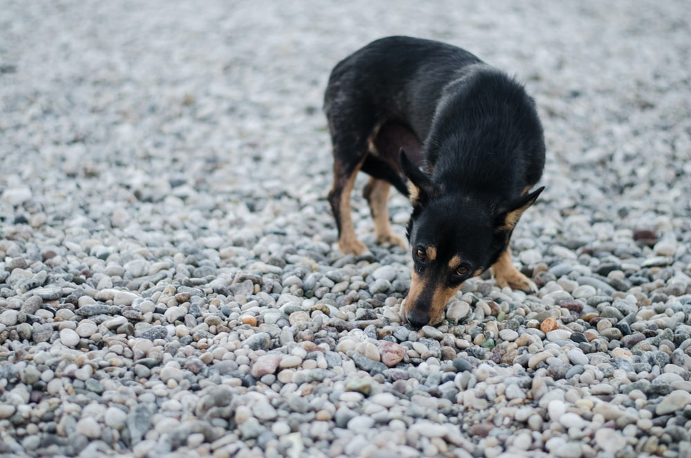 short-coated black and tan dog