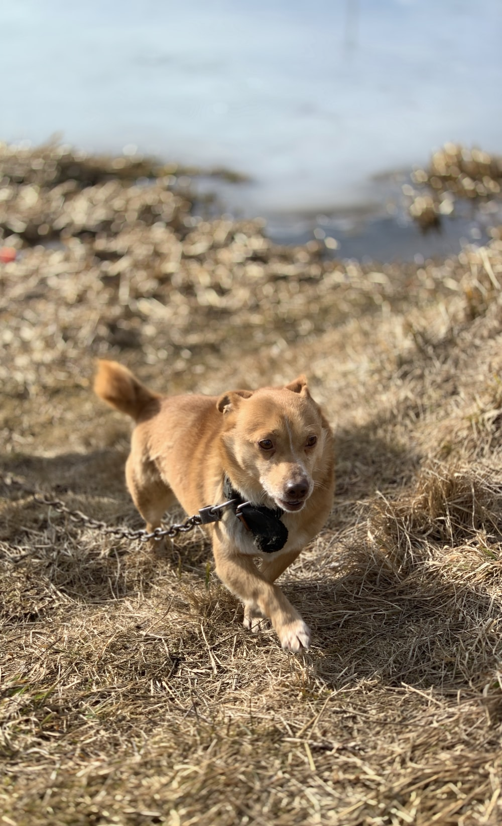 brown dog with leash