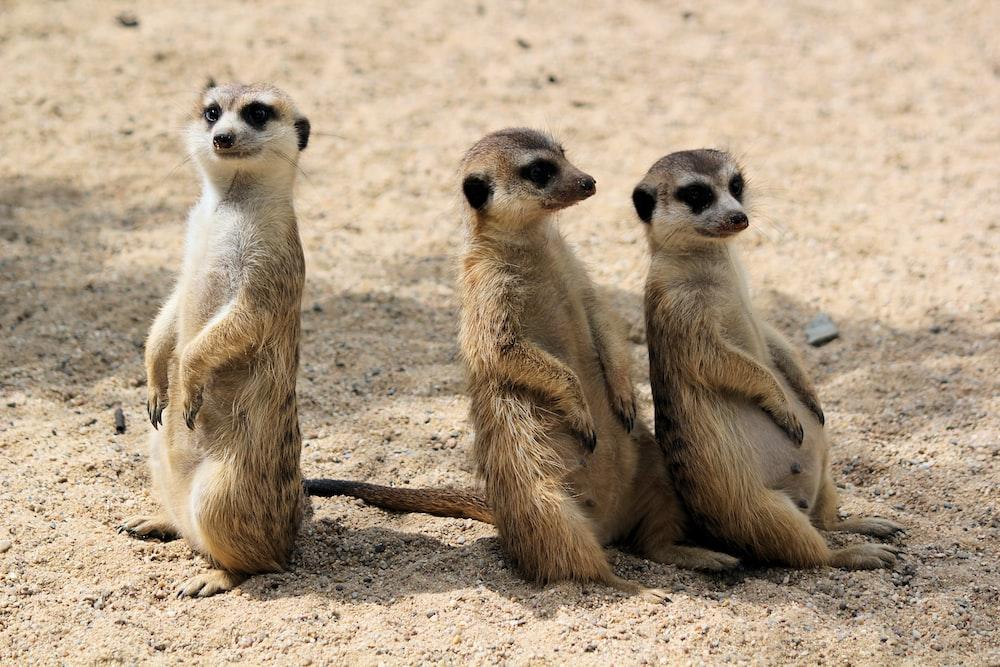 three animals on sand during daytime