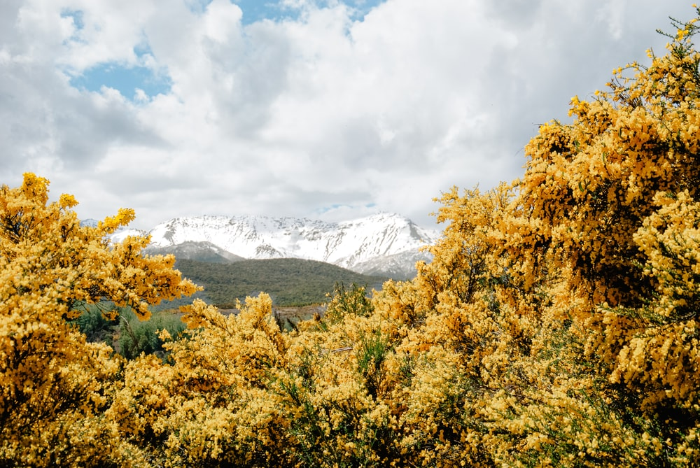 yellow trees near mountain