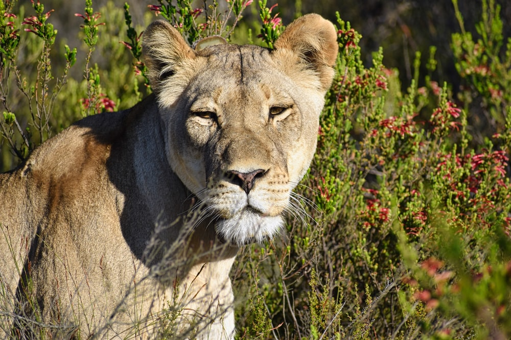 brown lioness in close-up photography