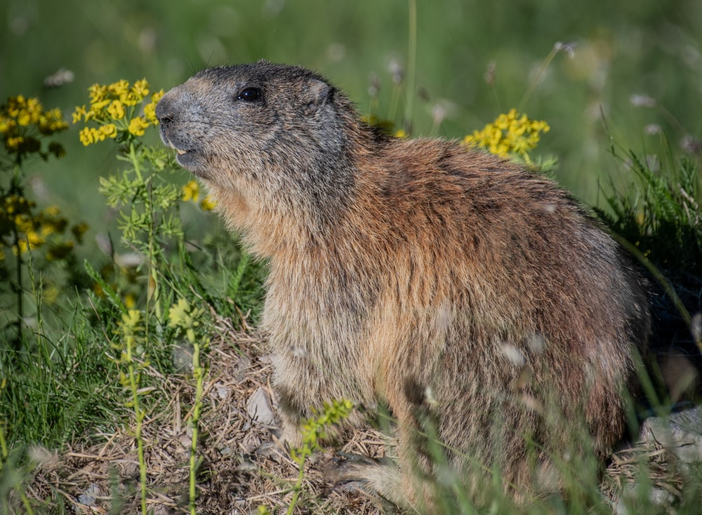 brown rodent beside yellow flower in close-up photography