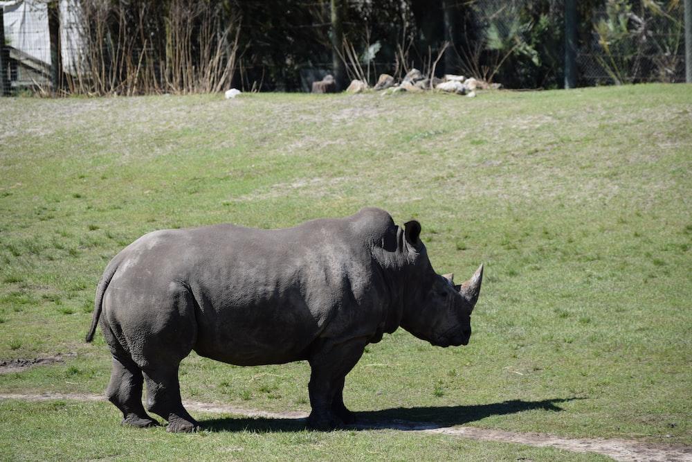 gray rhinocerus standing on grass field