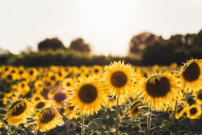 yellow sunflower field sunflower teams background