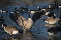 flock of ducks