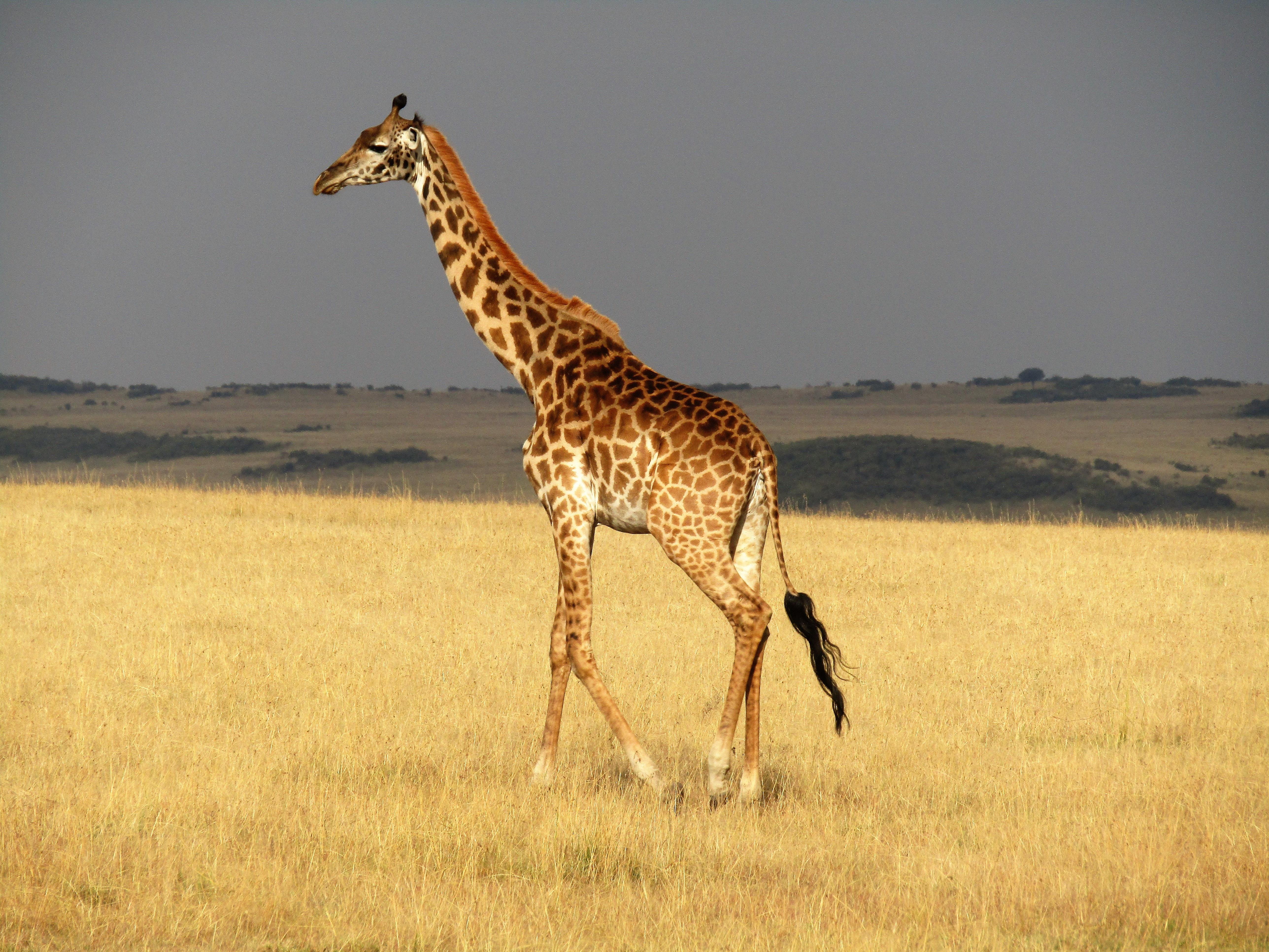 brown giraffe walking grass field