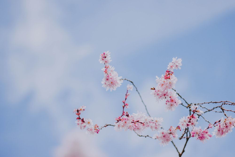 pink and white-petaled floewr
