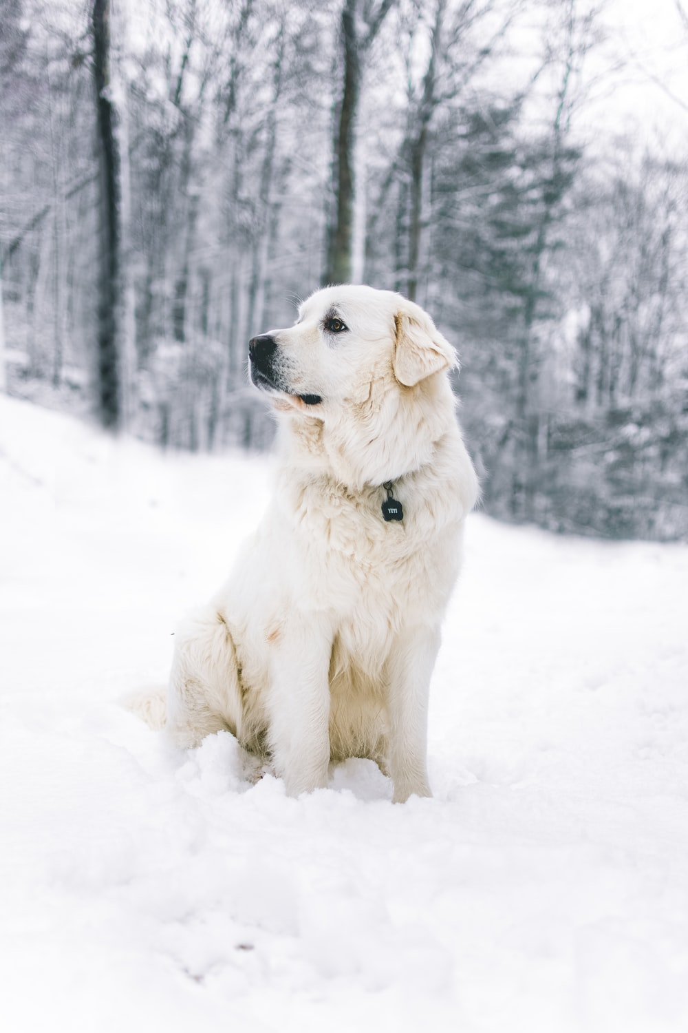 long-coated white dog