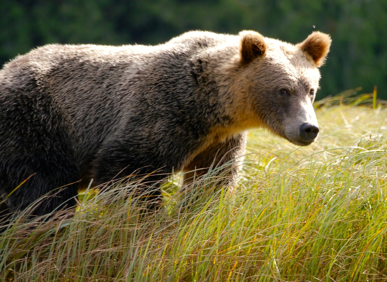 big brown grizzly bear walking in grass hunting prey