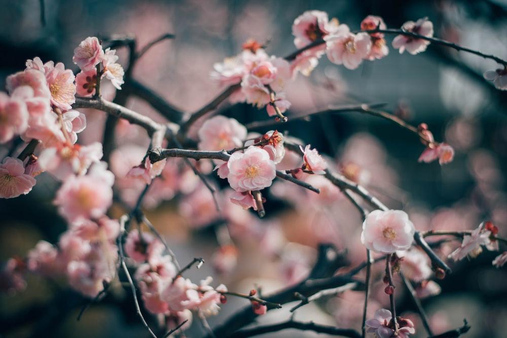 pink plum tree photo