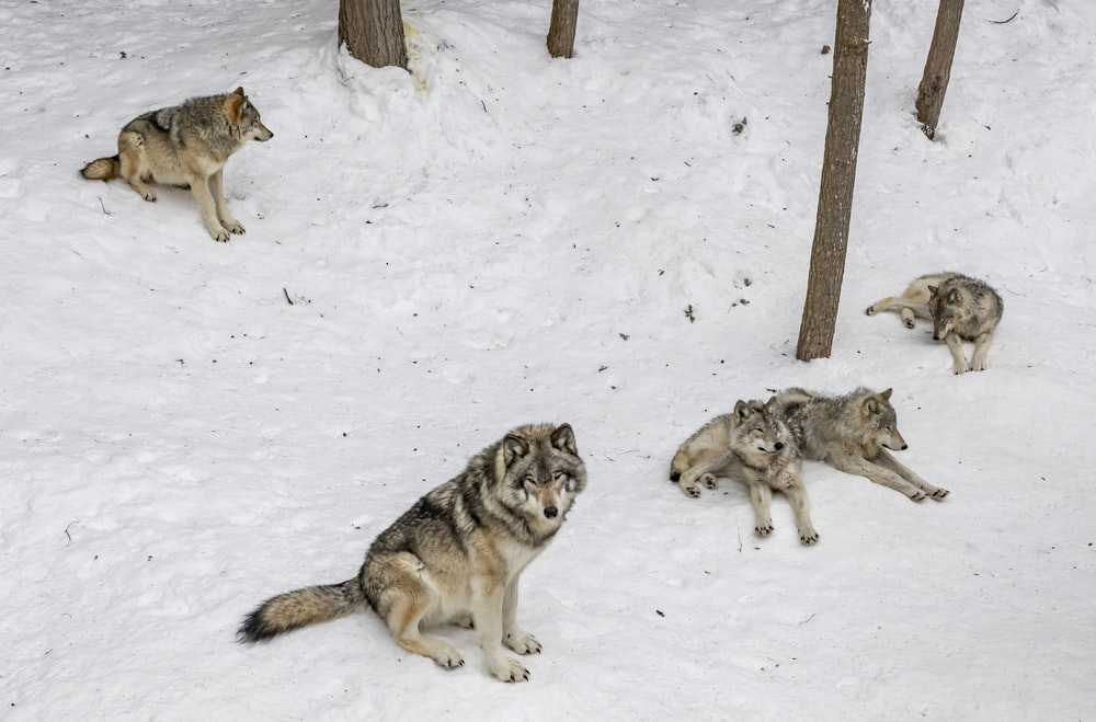 four wolves on snow