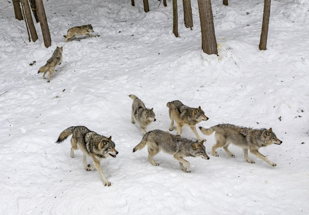 seven pack of wolves on forest snow