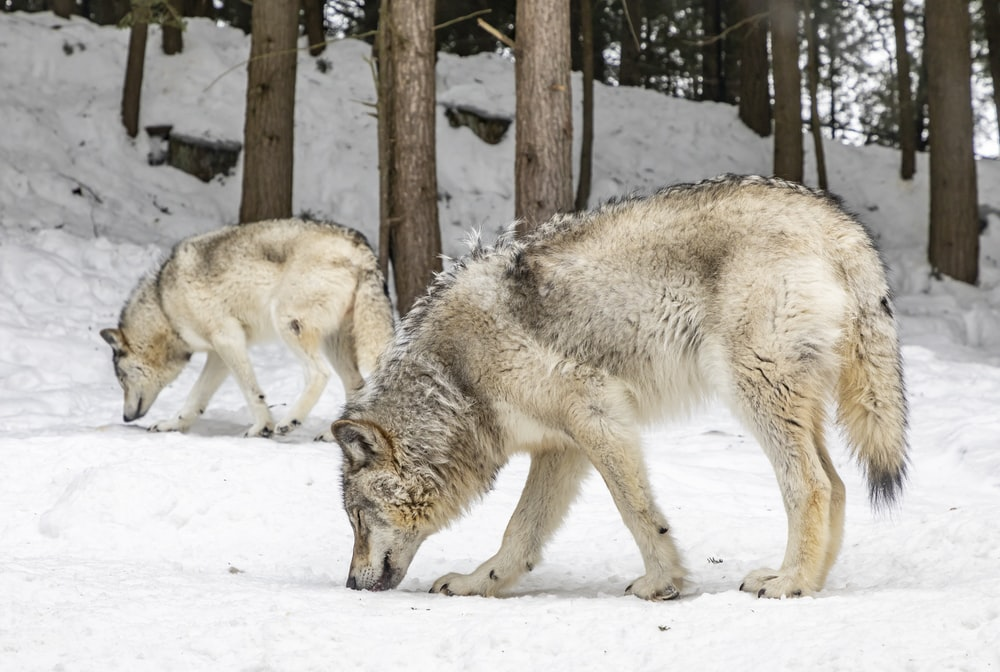 two wolves on snow field