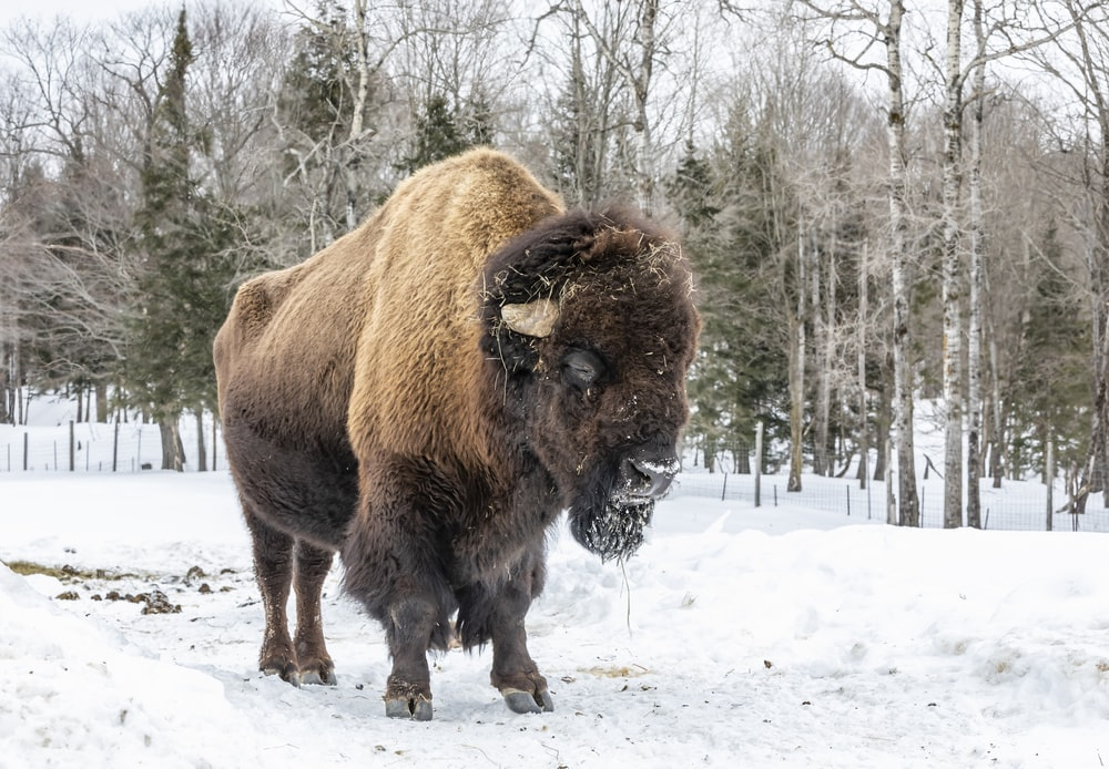 brown and black bison outdoor during daytime