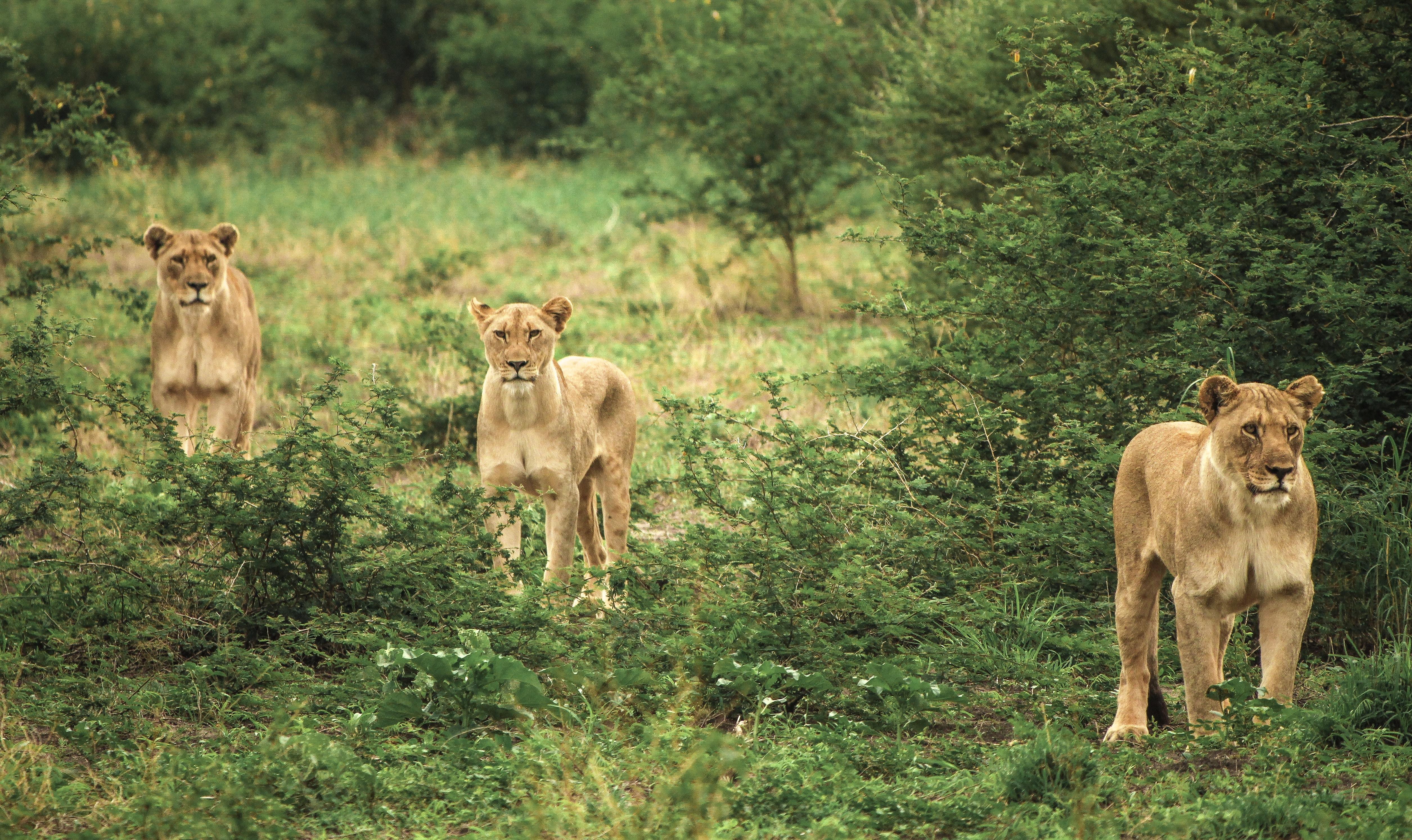 three cougars