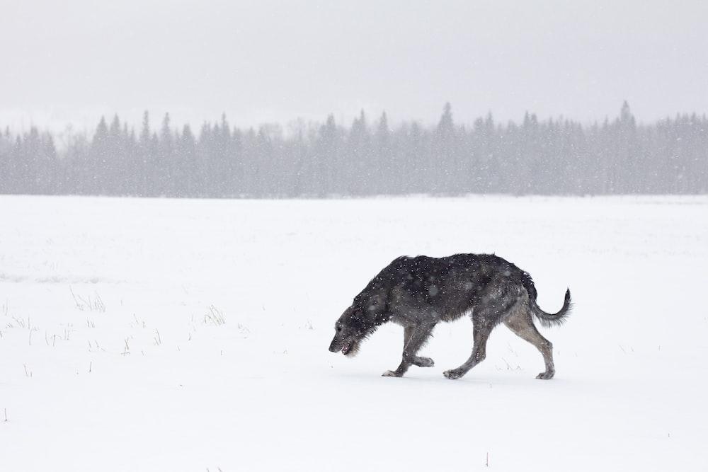 black dog walking on snow