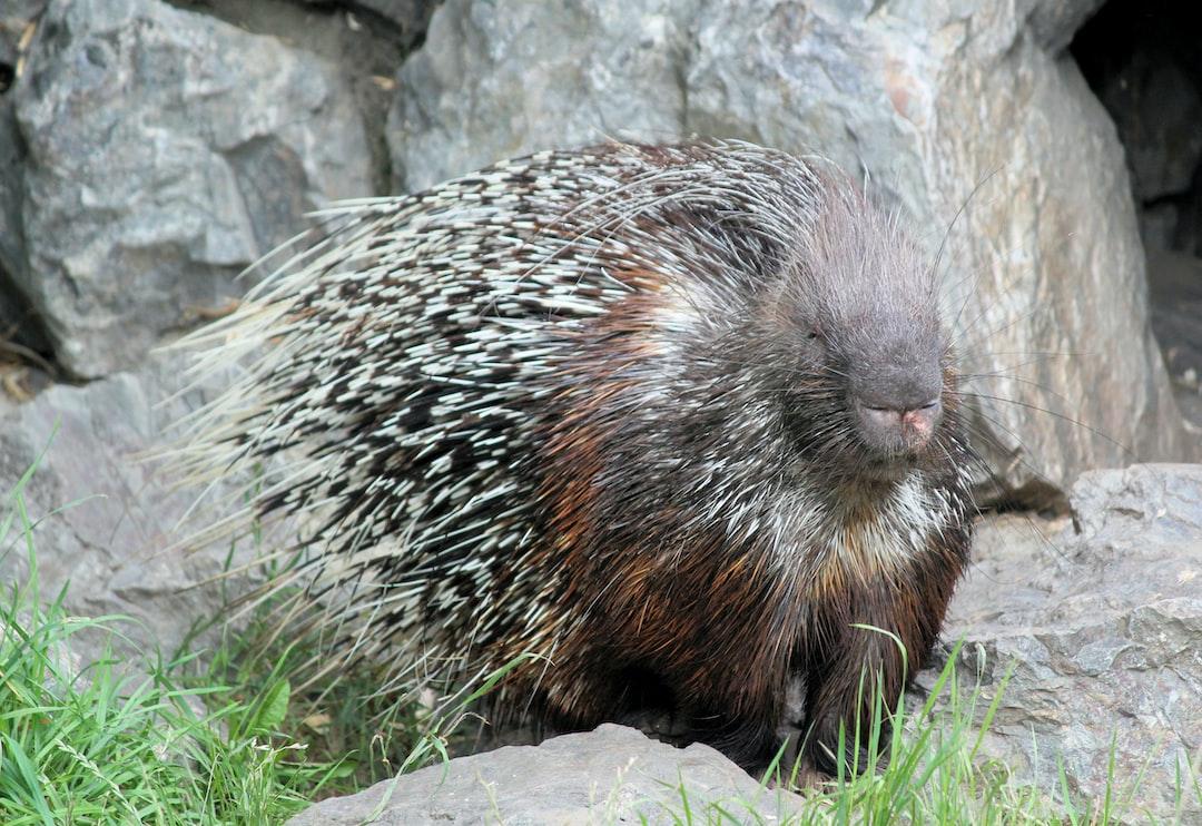 Porcupine sunbathing